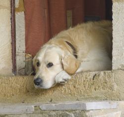 Labrador Waiting With Patience
